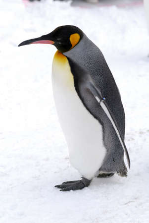 The King Penguin (Aptenodytes patagonicus) is the second largest species of penguin at about 90 cm (3 ft) tall and weighing 11 to 16 kg (24 to 35 lb) photo