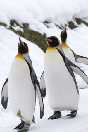 cm: The King Penguin (Aptenodytes patagonicus) is the second largest species of penguin at about 90 cm (3 ft) tall and weighing 11 to 16 kg (24 to 35 lb) Stock Photo