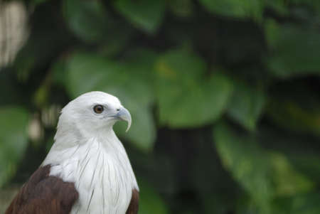 resides: Brahminy Kite (Haliastur Indus) resides in India, Asia and Australia. They are considered sacred birds in India. They are medium sized raptors with a white head and . They are also called the Singapore Bald Eagle Stock Photo