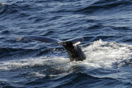 Humpback Whale diving into the ocean at Stellwagen Bank Marine Sanctuary off Boston.  They are known as Megaptera novaeangliae. Stock Photo - 5702932