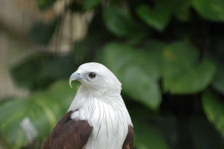 resides: Brahminy Kite (Haliastur Indus) resides in India, Asia and Australia.