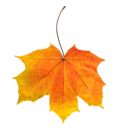 maple leaf: Bright autumn maple leaf isolated on white