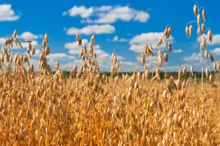 field of oats in front of a blue sky. Harvest season Reklamní fotografie