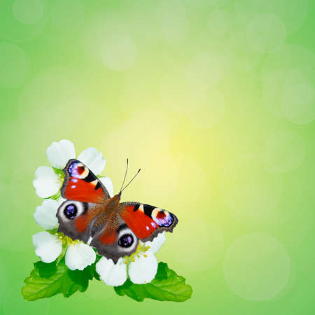 io: Summer green background and a beautiful butterfly on the white flowers.