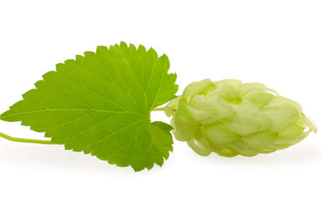 hops plant, isolated on white. photo