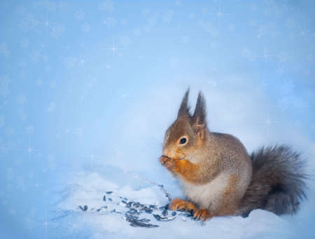 Beautiful squirrel sits and holds in paws food  Blue Christmas winter background photo