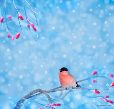 Bullfinch sitting on a branch with berries, blurred background. Christmas card with space for text. photo