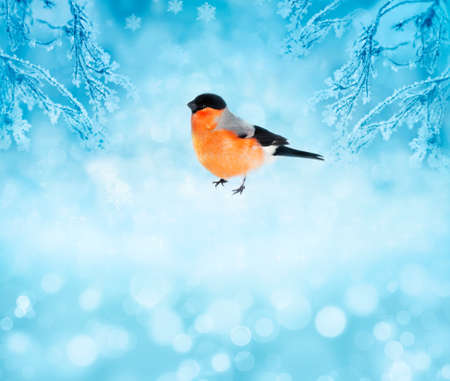 Winter bird bullfinch in the snow  Christmas card with space for text  photo