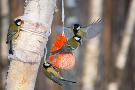 feeder: tit birds on a bird feeder in winter park