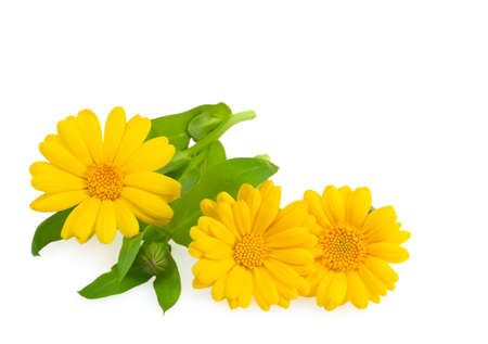 Calendula flowers with leaves close up isolated on white  photo