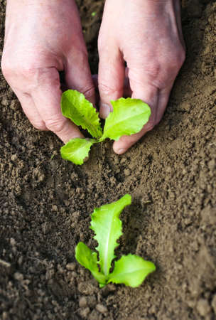 Planting seedlings in the soil in spring  Female hands with lettuce seedlings closeup  photo
