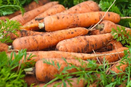 Fresh carrots from the garden. Harvesting.