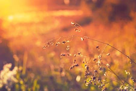 Meadow at sunset  Grass, illuminated by the sun  Summer season