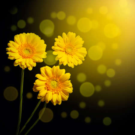 Three yellow gerbera daisies on a dark background   photo
