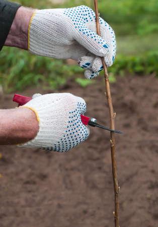 manos trabajo: Manos masculinas guantes de trabajo cortan ramita secateur j�venes de la poda grosellero despu�s de plantar en el jard�n Foto de archivo