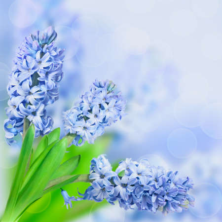Beautiful flowers blue hyacinth on blurred background  Card with space for text  Spring season  photo