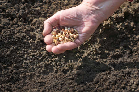 seeding: Spring sowing of seeds into the soil  Female hand with seeds on earth
