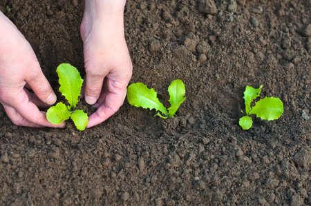smal: Planting seedlings in the soil in spring  Female hands with lettuce seedlings closeup