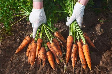 Oogsten wortelen Vrouwelijke hand met bossen van wortelen met tops