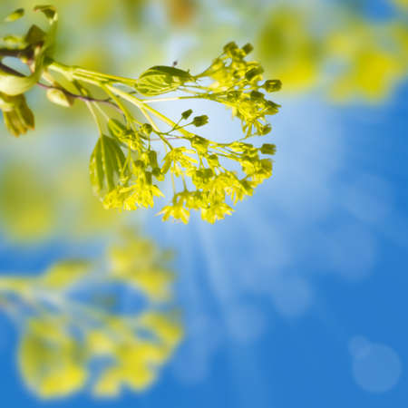 Branches of blooming spring maple against the blue sky with sunlight  Card with space for text photo