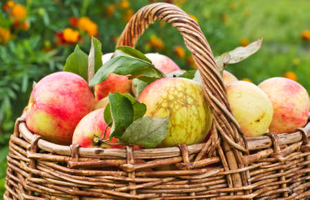 Basket with red apples on grass. photo