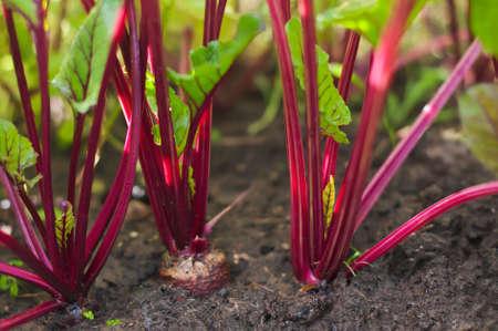 betabel: creciente de remolacha en la cama vegetal. Foto de archivo