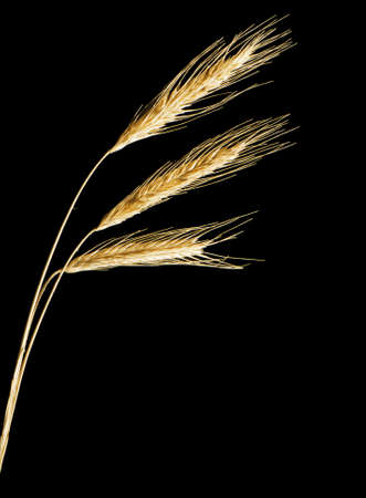 spikelets:  ripe rye spikelets isolated on black