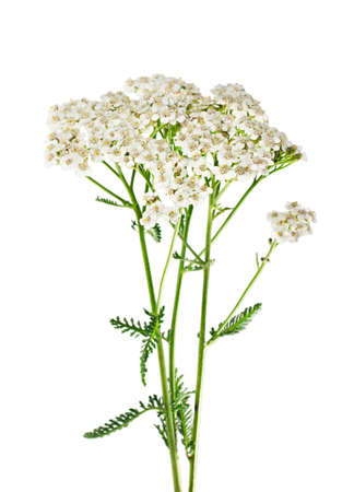Yarrow plant closeup isolated on white background. Medicinal plant. photo