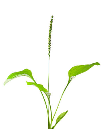 plantain leaves and seeds isolated on white. Stock Photo