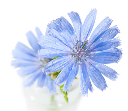 inulin: Blue chicory flowers on a white background Stock Photo