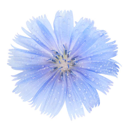 inulin: Blue chicory flower on a white background closeup.