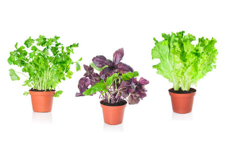 Basil, parsley, lettuce growing in pots on a white background photo