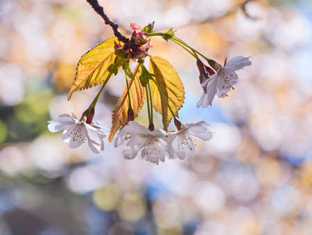 Spring background with bokeh and cherry blossom photo