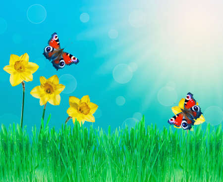 Summer background with daffodils, butterflies and grass photo