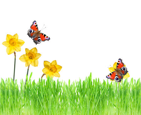 Green grass, flowers and butterflies on a white background photo