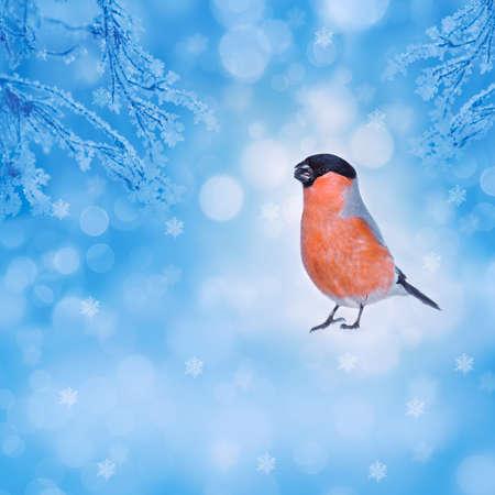Blue winter background with bird bullfinch. photo