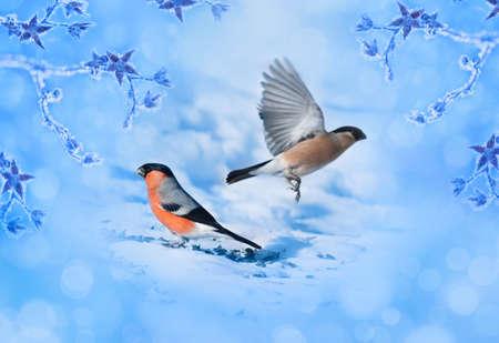 Blue winter background with bird bullfinches.  photo