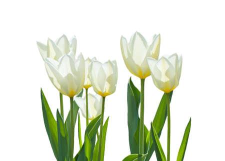 tulips isolated on white background: White tulips isolated on a white background