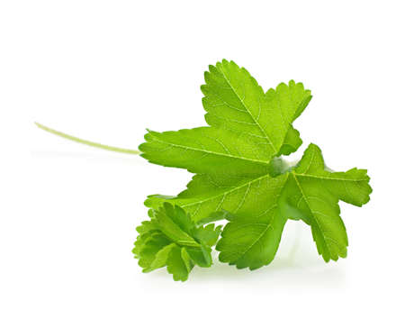 alchemilla mollis: Ladys Mantle (Alchemilla mollis) leaves isolated on white.