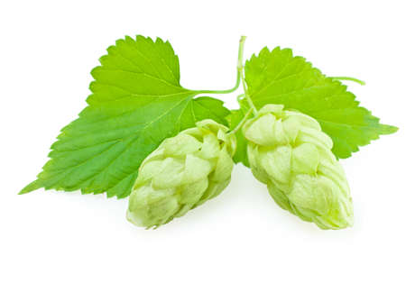 Hops plant, isolated on white photo