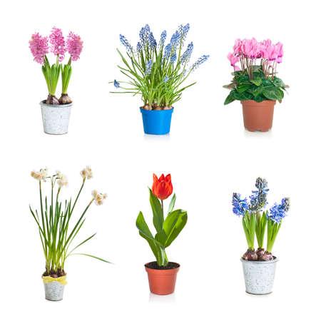 白で隔離植木鉢に春咲きの植物のコレクション セット