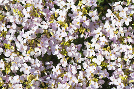polyanthus: Background of pink flowers Arabis