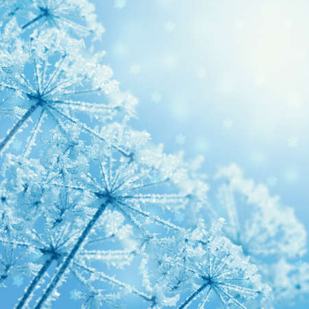 frost winter: The plants covered with frost. Winter floral background
