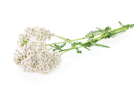 milfoil: Yarrow herb on a white background. Stock Photo