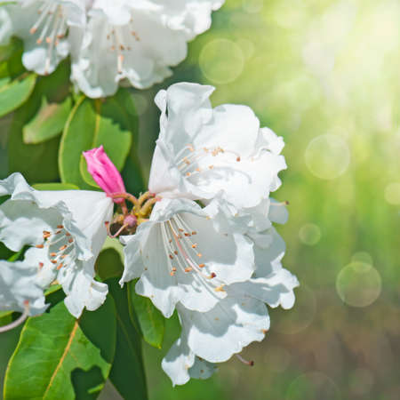 ericaceae: Blooming white rhododendron (Ericaceae), lit by the sun.