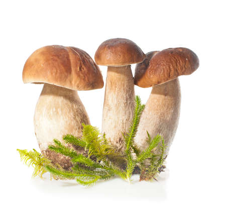 Three Boletus Edulis mushroom and moss over white.