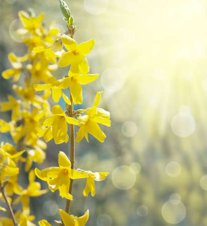 Spring background with bokeh and yellow forsythia
