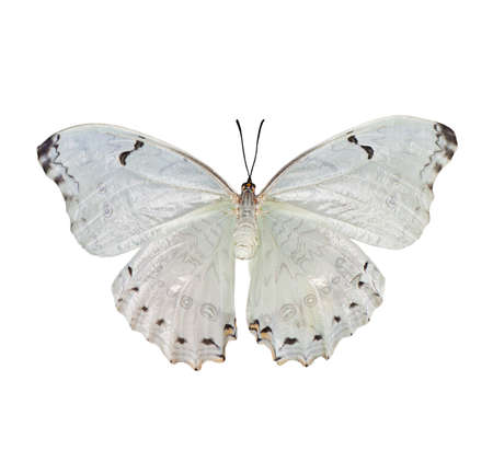 nymphalidae: Beautiful white butterfly Morpho polyphemus  with the opened wings isolated on a white background.
