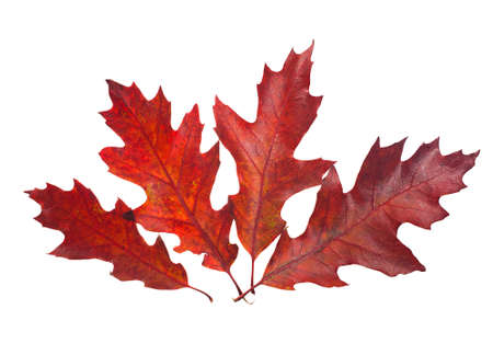 red oak tree: Four beautiful autumn leaves of red oak tree ( Quercus rubra ) isolated on white background.