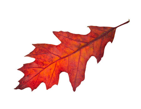 red oak tree: Autumn leaf of red oak tree ( Quercus rubra ) isolated on white background. Stock Photo